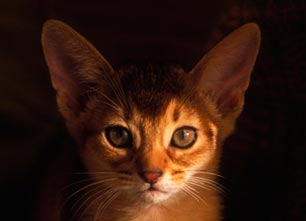 Chats : les Abyssins