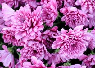 Flore : Symphonie en rose